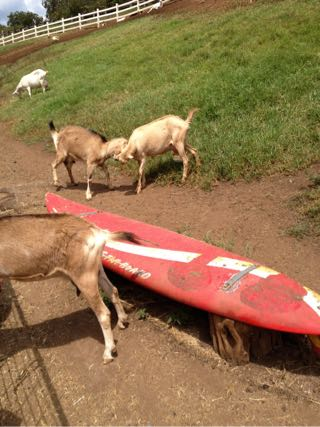 サーフボードの横で喧嘩をしているヤギ
