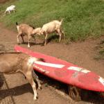 マウイのヤギ牧場Surfing Goat Dairyに行ってきました