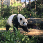 台北子連れ旅行、おすすめな1日の使い方。台湾市立動物園でパンダを見てから十分老街で天燈上げ(動物園編)